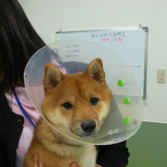 忠犬コロちゃん!