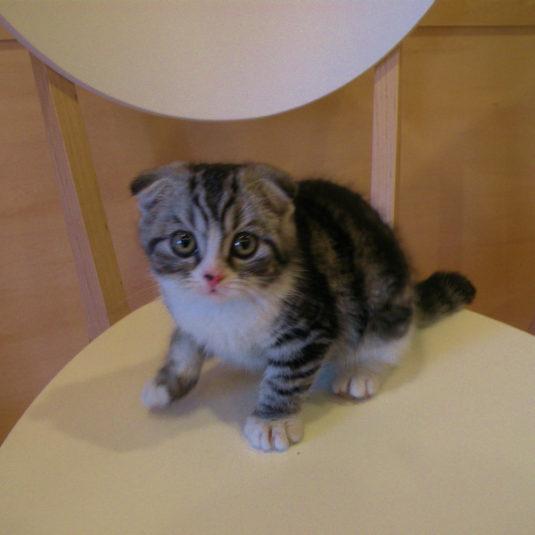 スコティッシュホールドの子猫の里親さん募集しています!