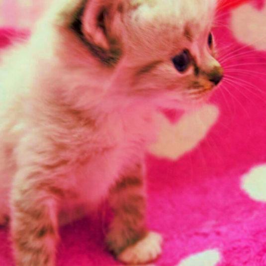ラグドールの子猫ちゃんの里親さんが決まりました!